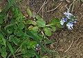 Veronica serpyllifolia subsp humifusa 3 RF.jpg