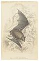 Vespertilio daubentonii - 1700-1880 - Print - Iconographia Zoologica - Special Collections University of Amsterdam - UBA01 IZ20800117.tif