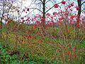 Viburnum opulus 005.JPG