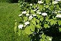 Viburnum wrightii k1.jpg