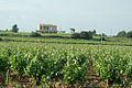 Vineyard in Chateauneuf du Pape.jpg