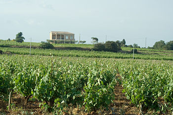 Vineyard in the French wine region of Chateaun...