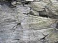 Vinton Member (Logan Formation, Lower Mississippian; Rt. 16 roadcut northeast of Frazeysburg, Ohio, USA) 7 (33429861225).jpg