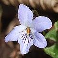 Viola vaginata (flower s6).jpg