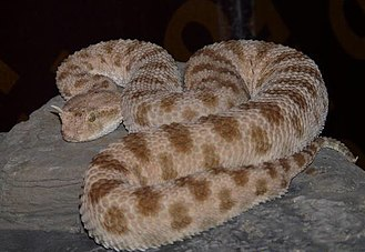 Biskra - The Horned Viper