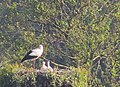 Vit Stork White Stork (14451969516).jpg