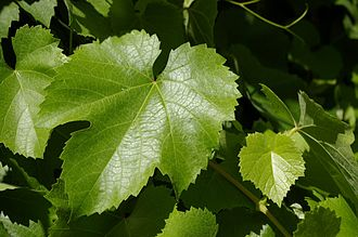 Vitis californica - New leaves in a riparian woodland in the San Joaquin Valley.