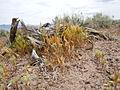 Vulpia octoflora (23412630052).jpg