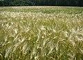 WILCZE ŁUGI lato 20 - panoramio.jpg