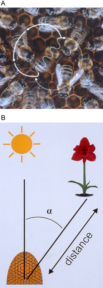 Waggle dance - Figure-eight-shaped waggle dance of the honeybee (Apis mellifera). A waggle run oriented 45° to the right of 'up' on the vertical comb (A) indicates a food source 45° to the right of the direction of the sun outside the hive (B). The abdomen of the dancer appears blurred because of the rapid motion from side to side.