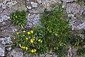 Wallflowers, Holy Island - geograph.org.uk - 1232802.jpg