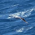 Wandering Albatross flying over the South Atlantic (5656441856).jpg