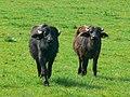 Water buffalo, Little Hungerford, West Berkshire - geograph.org.uk - 398640.jpg