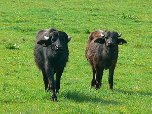 Buffalo meat - Water buffalo on a farm in Great Britain