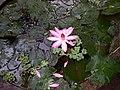 Water lilly. - panoramio.jpg