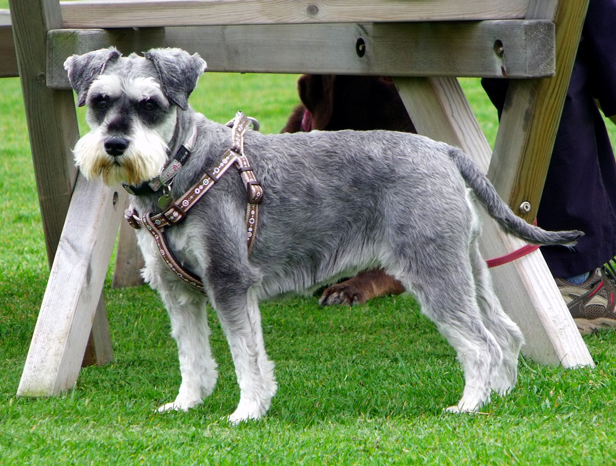Image result for Miniature Schnauzer