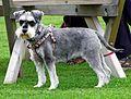 Welsh Terrier (11120917415).jpg