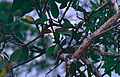 White-bellied Cuckooshrike (Coracina papuensis) on nest (9839424044).jpg