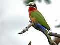 White-fronted Bee-Eater (Merops bullockoides) (6046246296).jpg