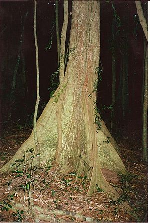 Argyrodendron trifoliolatum - White booyong - Davis Scrub Nature Reserve, Australia