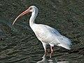 White Ibis (Eudocimus albus) RWD1.jpg