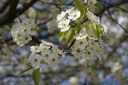 Cherry blossom wikiwand white cherry blossoms sakura mightylinksfo