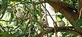 White Tern - Gygis alba.jpg
