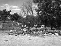 White Turkeys (Missouri State Archives) (8204309280).jpg