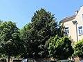Wien-Penzing - Naturdenkmal 438 - weibliche Eibe (Taxus baccata).jpg