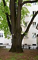 Wiener Naturdenkmal 100 - Winterlinde (Währing) g.jpg