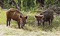 Wild Pig KSC02pd0873.jpg