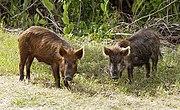 Feral Hogs, Image via Wikipedia