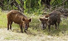 Pig - Wikipedia