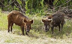 http://upload.wikimedia.org/wikipedia/commons/thumb/9/9b/Wild_Pig_KSC02pd0873.jpg/250px-Wild_Pig_KSC02pd0873.jpg