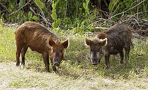 Wild pig - Sus scrofa Wild pigs stop near the ...