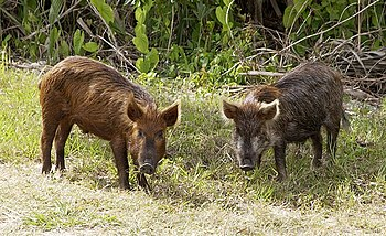 Wild pig (Sus scrofa) stop near the Kennedy Sp...