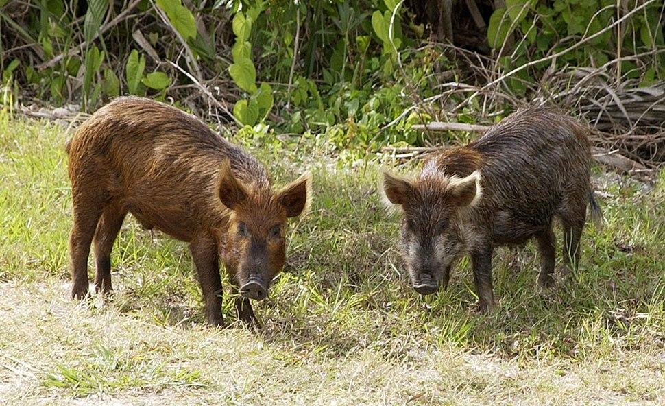 Wild Pig KSC02pd0873
