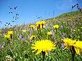Wild flowers - panoramio (1).jpg
