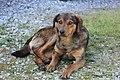 Wild lebender Hund in Bosnien.JPG