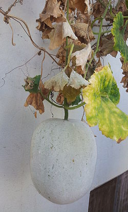Winter Melons on the vine in Kurnool, Andhra Pradesh, India 02.jpg
