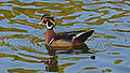 Wood Duck in profile (Aix sponsa).jpg