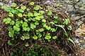 Wood sorrel and haircap moss.jpg