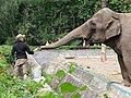 Wroclaw zoo 12 slon indyjski.jpg