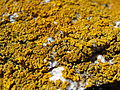 Xanthoria parietina.001 - Islas Cies.JPG