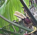 Xanthosoma undipes (20494380684).jpg