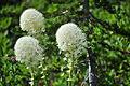 Xerophyllum tenax -Paradise, Mount Rainier, August 2014 - 06.jpg