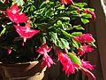 Xygocactus blooming.JPG