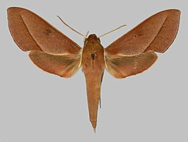 Xylophanes irrorata BMNHE273371 male up.jpg