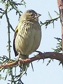 Yellow-bishop-feb1.jpg