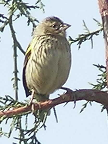 Lêer:Yellow-bishop-feb1.jpg